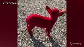 Dipinge il cane di rosso e posta il video su Twitter, il web si indigna contro il rapper Valee