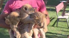 Gaza, il Rafah Zoo riapre: ospiti tre leoncini