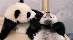 Zoo di Berlino, due baby panda pronti per la loro prima uscita